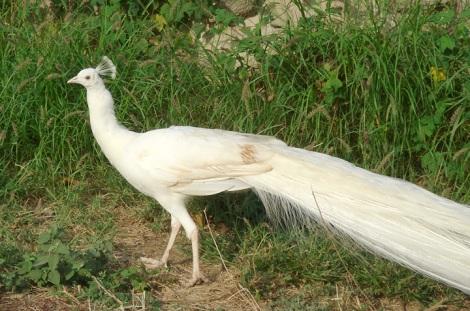 whitepeafowl
