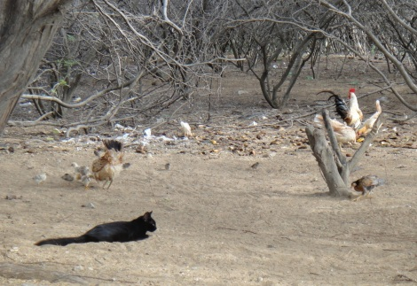 Cliff the Cat herds chickens.