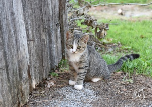 Barn cat in rural Pennsylvania.